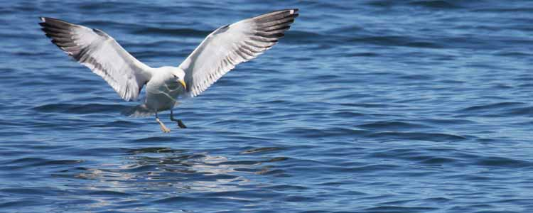 Ivanhoe-Sea-Safaris-Eco-Landing-Sea-Gull