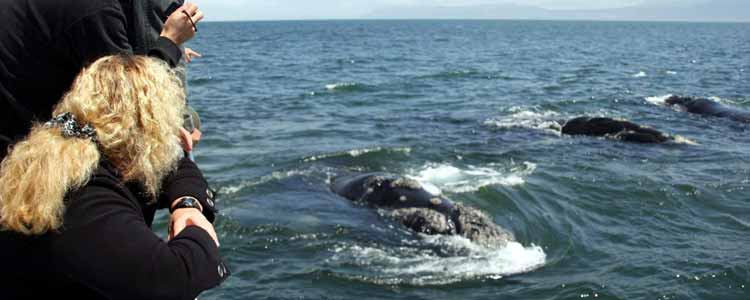 Ivanhoe-Sea-Safaris-Top-Deck-Side-Boat-Southern-Right-Whale-Head