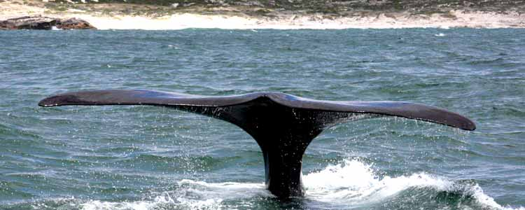 Ivanhoe-Sea-Safaris-Whale-Tail-Walker-Bay