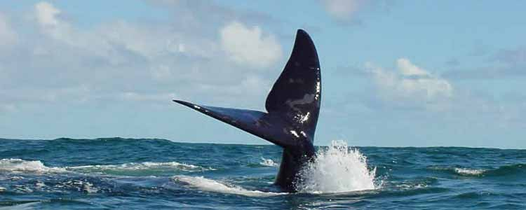 Ivanhoe-Sea-Safaris-Whale-Tail-Wlaker-Bay