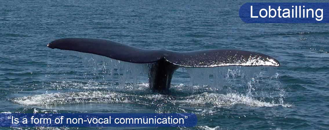 Southern-Right-Whale-Tail1