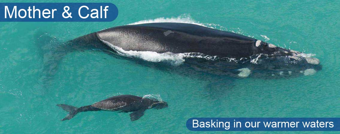 Southern-Right-Whale-With-Calf2