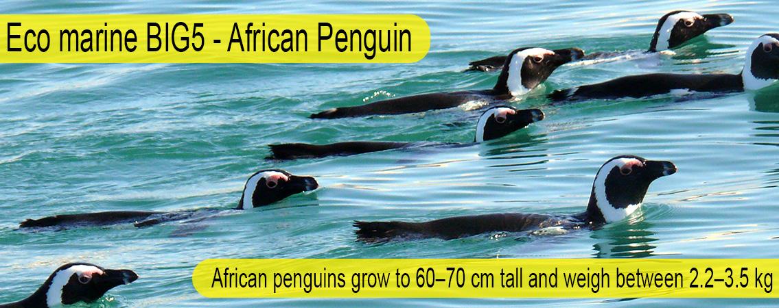 African-Penguin-Big-5