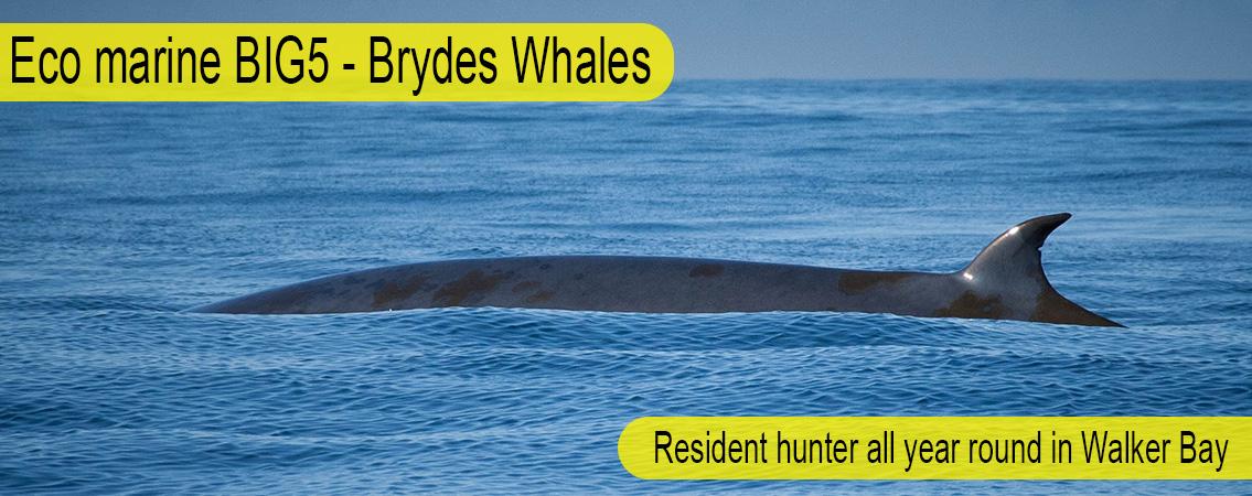 Brydes-Whale-Big-5