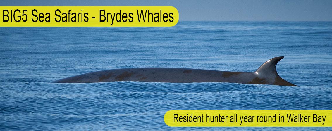 Brydes-Whale-Big-51
