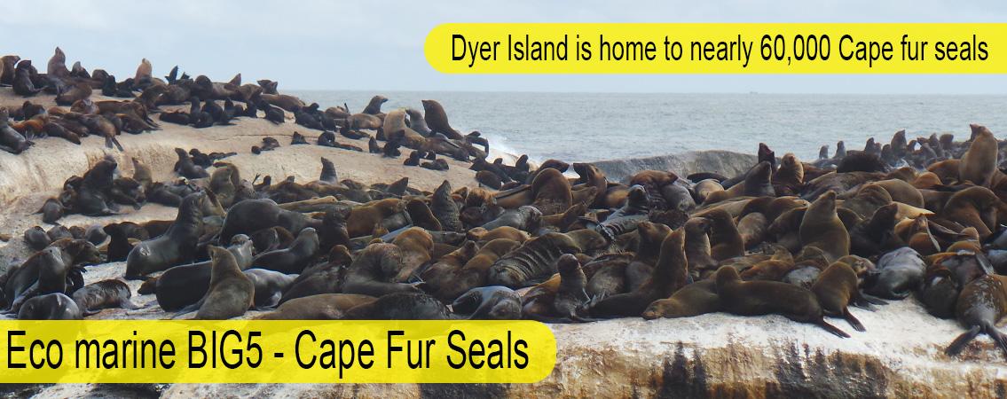 Cape-Fur-Seals-Big-5