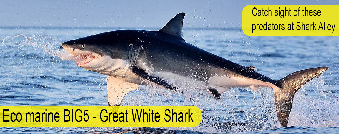 Great-White-Big-5