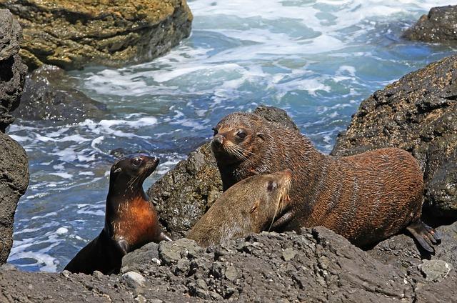 fur-seal-93494_640