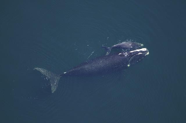 whale-cow-79863_640
