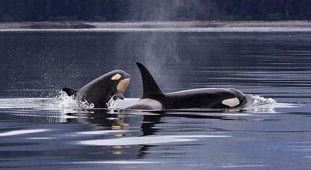 killer-whales-1945428_1280