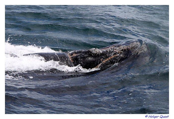 Wal Beobachten des südlichen Glattwals