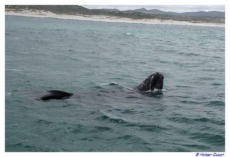 Südlicher Glattwal Südafrika