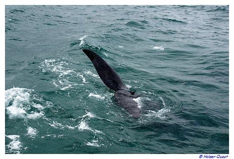 Südlicher Glattwal, der das Wasser schlägt