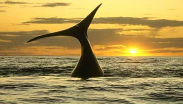 Sunset Southern Right Whales