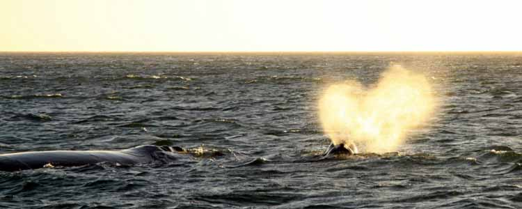 Ivanhoe-Sea-Safaris-Sunset-Southern-Right-Whale