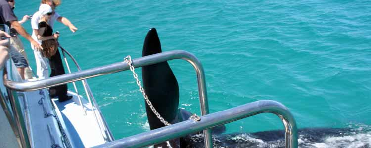 Ivanhoe-Sea-Safaris-Top-Deck-Side-Boat-Southern-Right-Whale-Fin