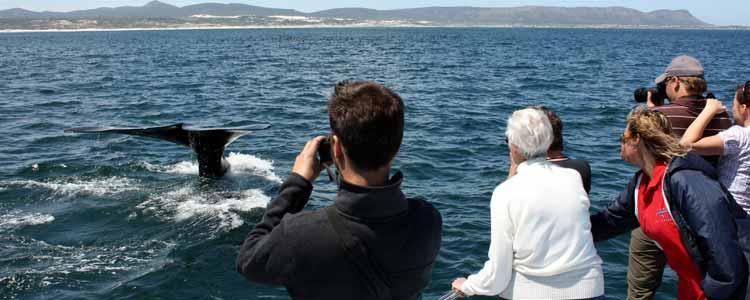 Ivanhoe-Sea-Safaris-Whale-watching-Southern-Right