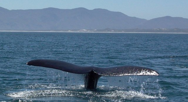 Southern Right Tail - Hermanus in the Background
