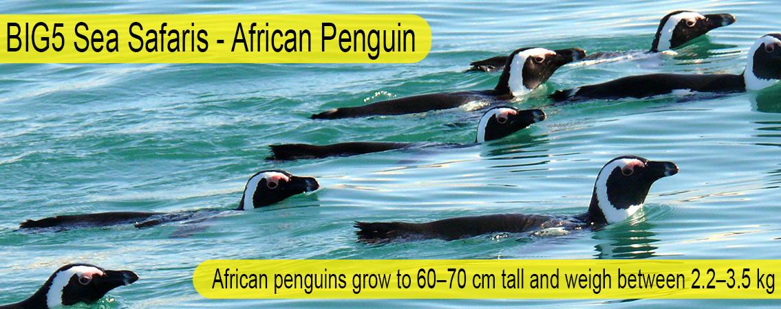 African-Penguin-Big-51