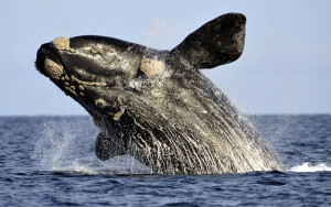 Breaching Southern Right Whale