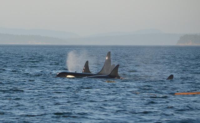 orca-596877_640