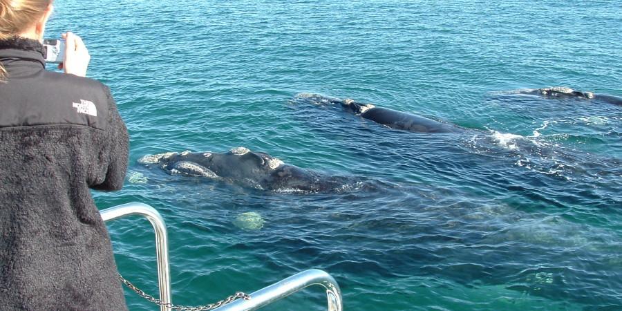 Schließen Sie Hermanus Whale Watching