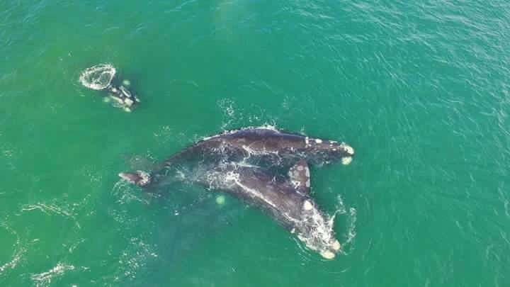 Southern Right Whale Mating Group Whale Watching South Africa