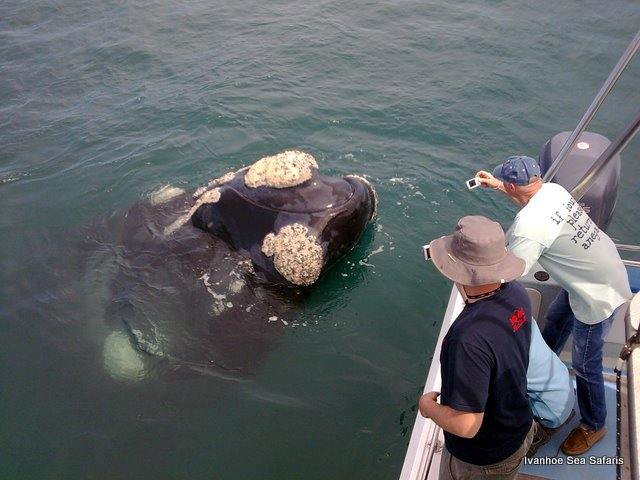 Southern Right Whale Watching Hermanus South Africa