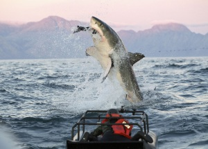 Shark-2-300x215