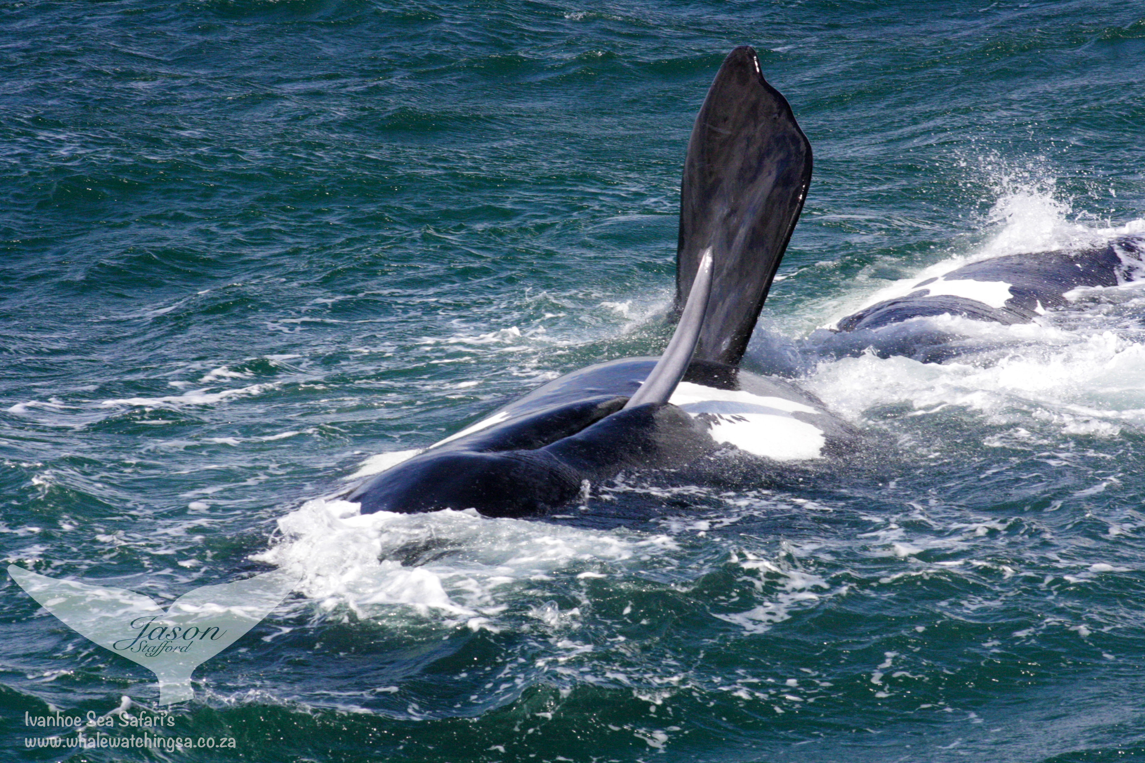 Southern-Right-Whale-Penis