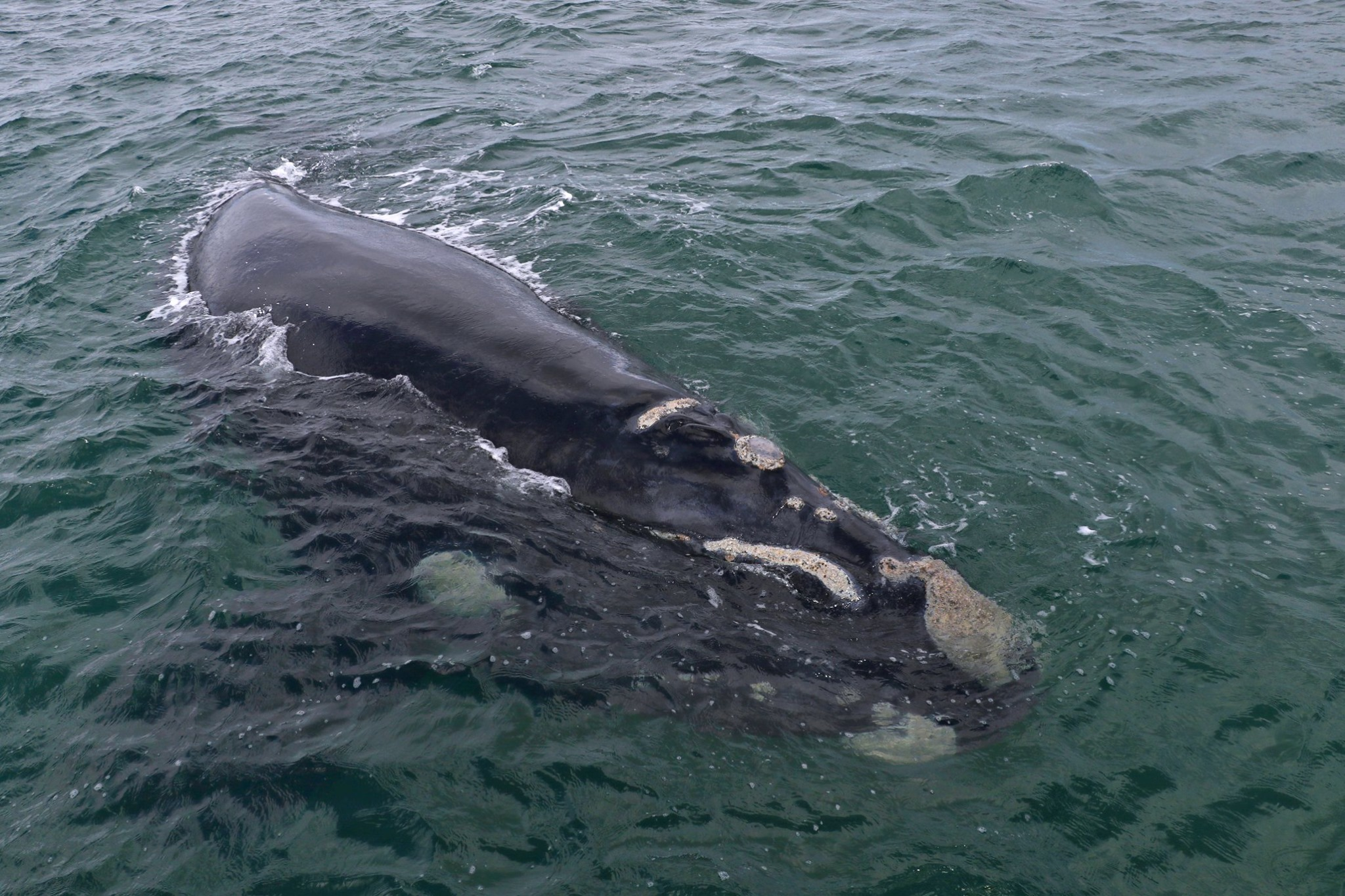 Close encounter Southern Right Whale in Gansbaai South Africa