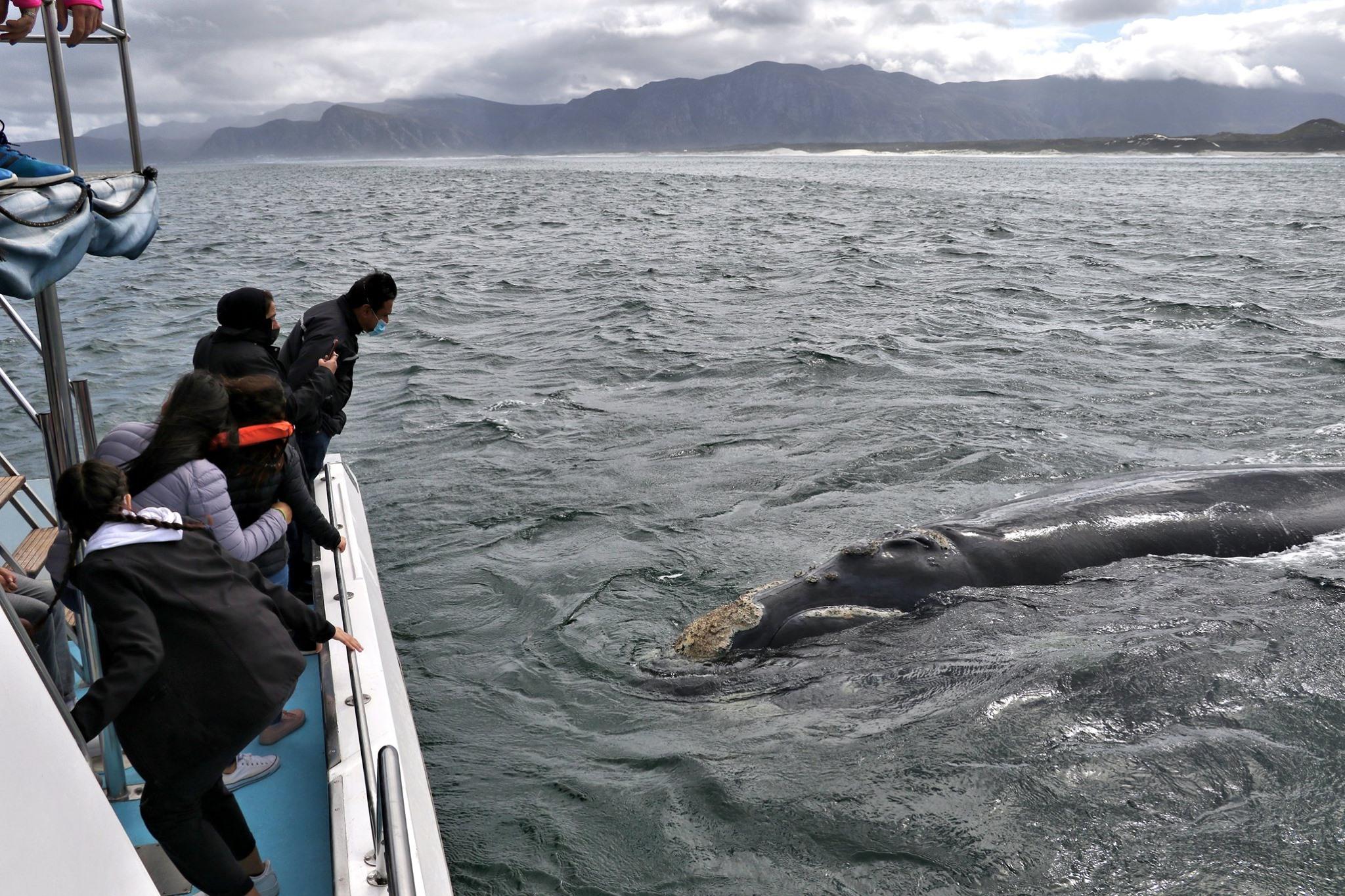 Südlicher Glattwal nähert sich dem Boot