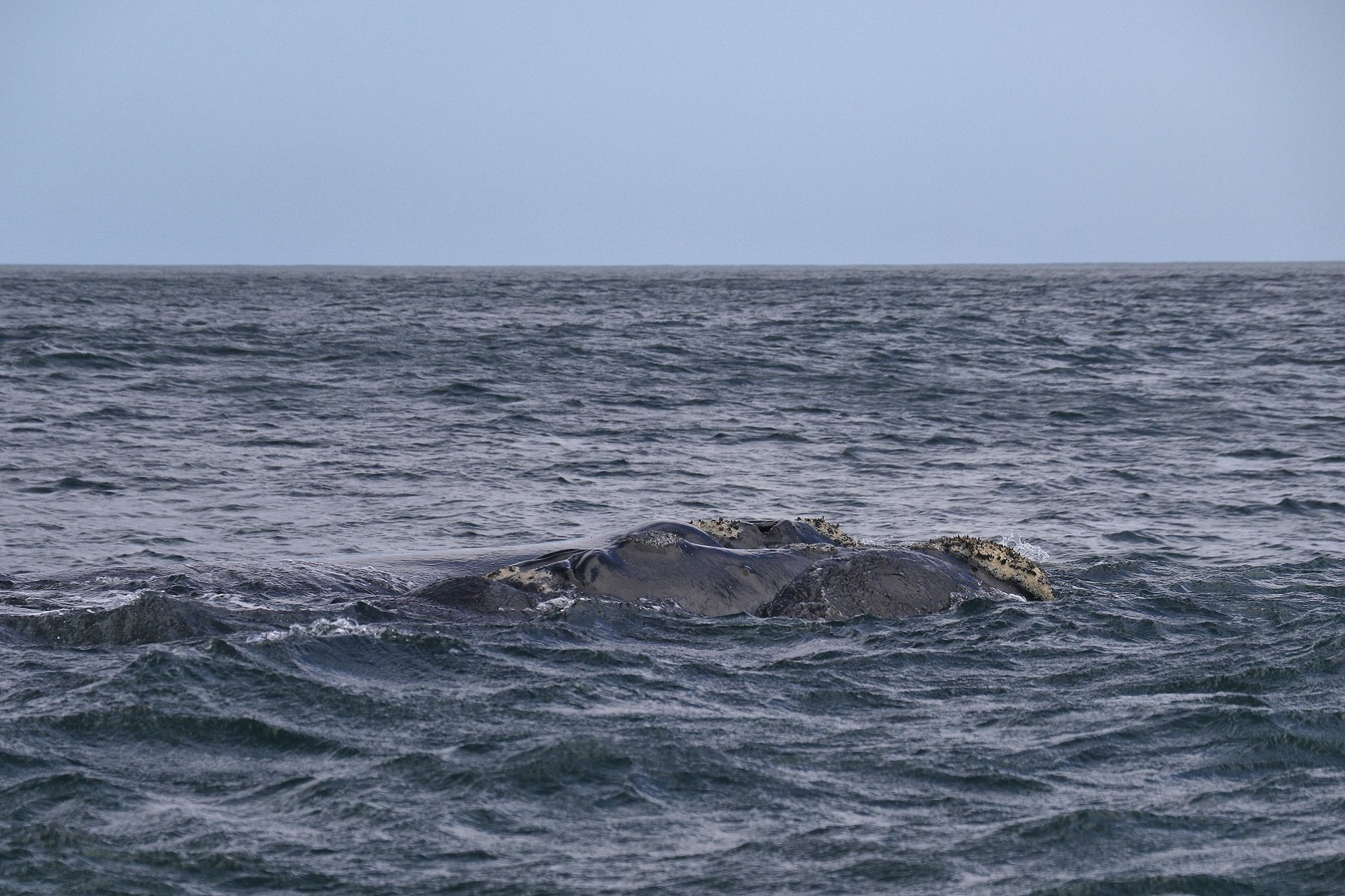 2 whales slowly moving along by the side of Ivanhoe