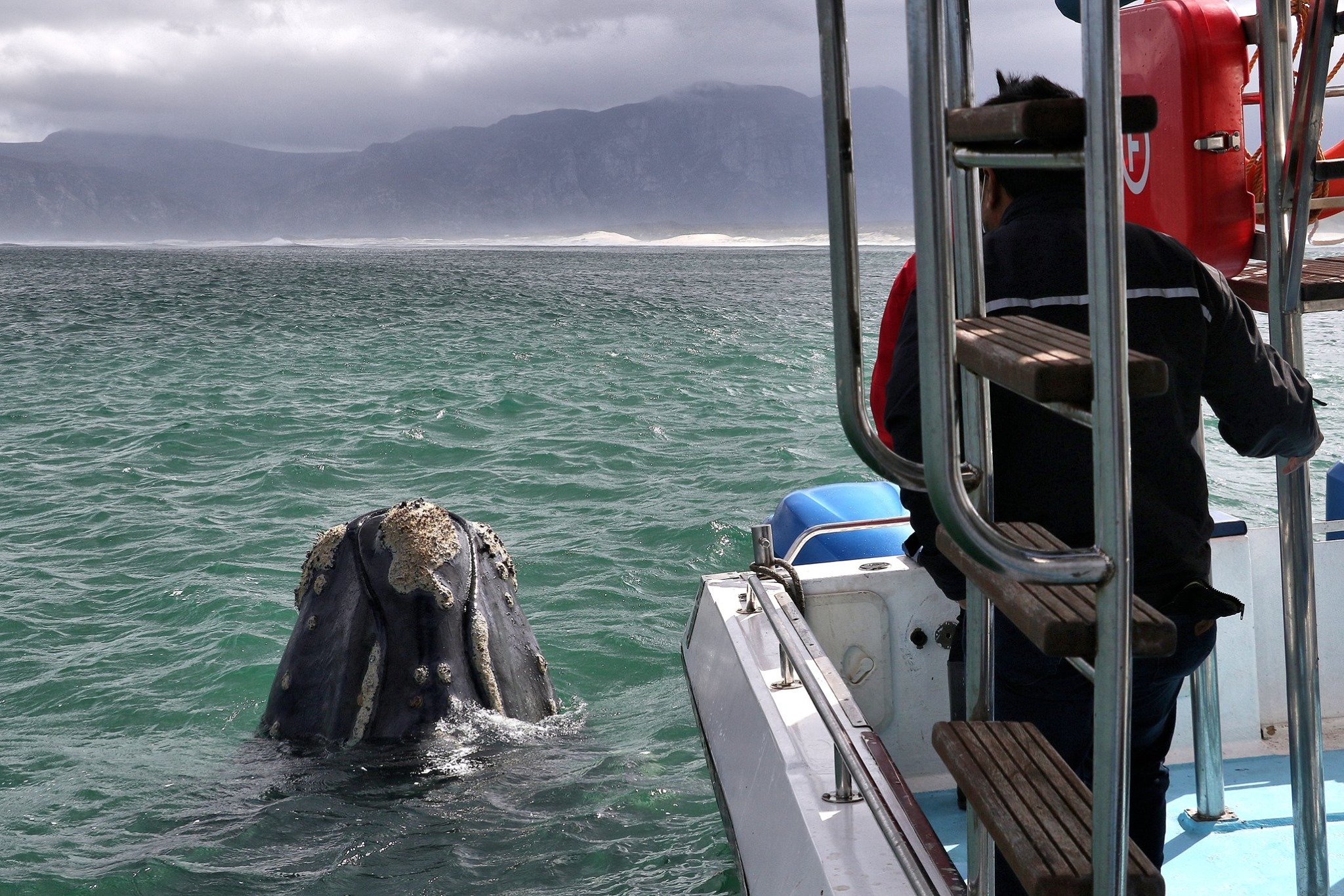 Southern Right Whale - Gansbaai South Africa