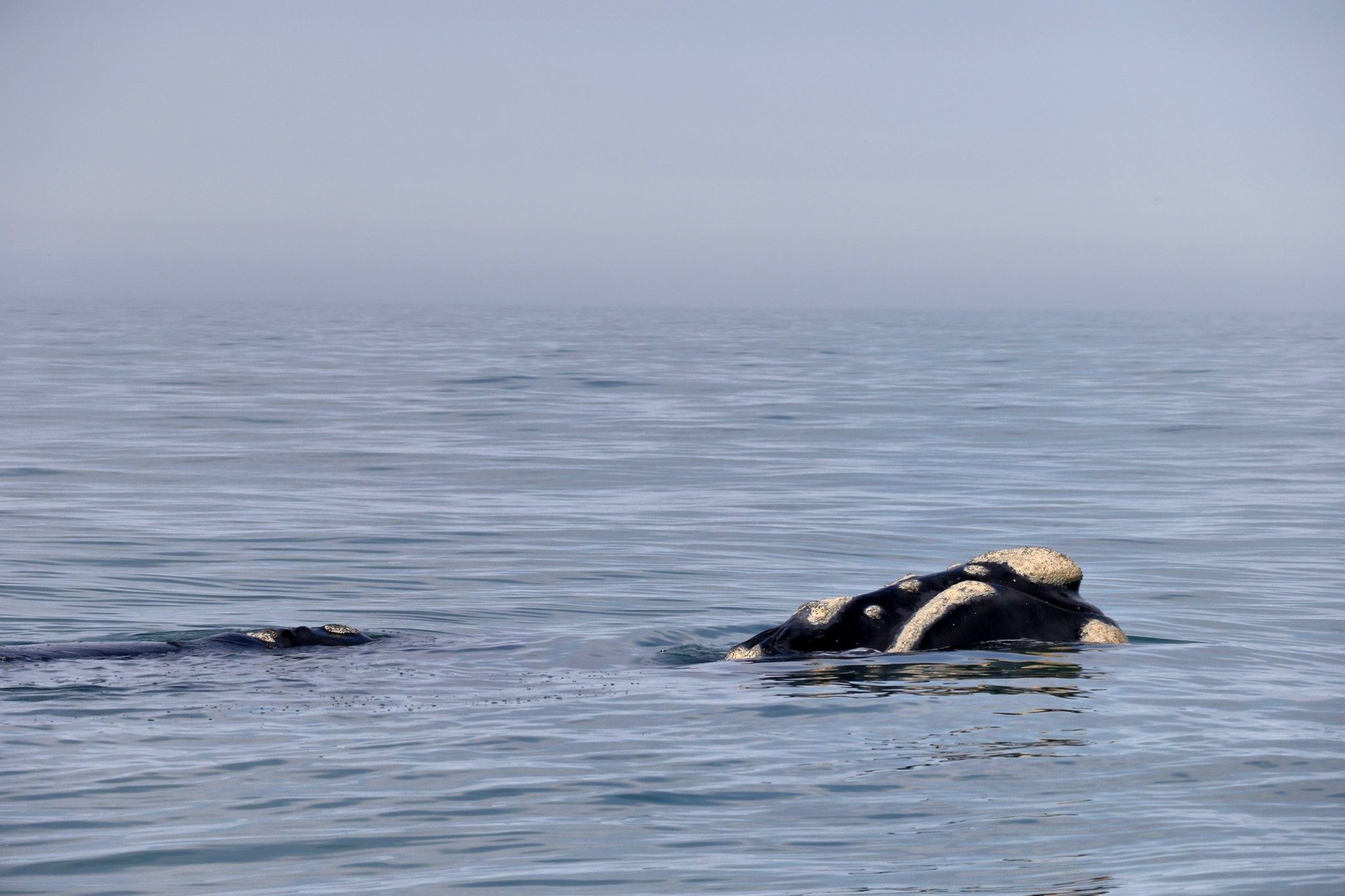 Close Encounter of a Southern Right Whale and its Calf
