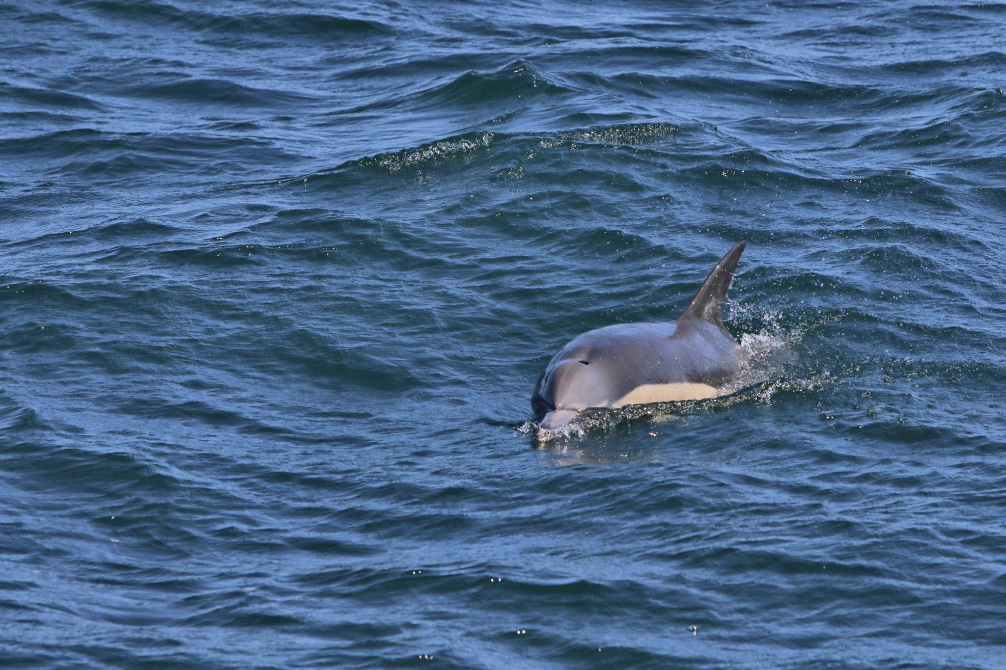 Dolphin watching Hermanus