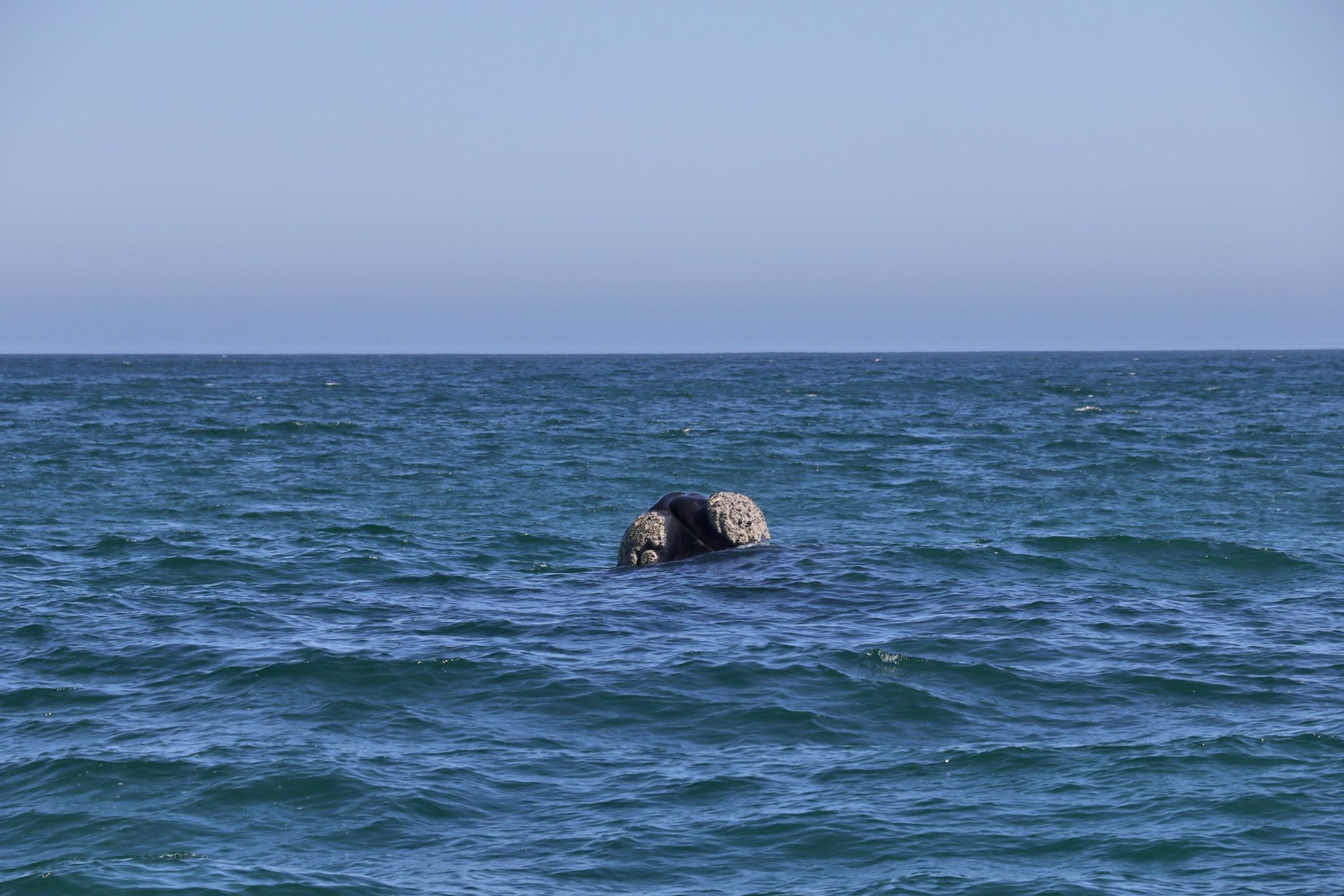 Southern Right Whale South Africa