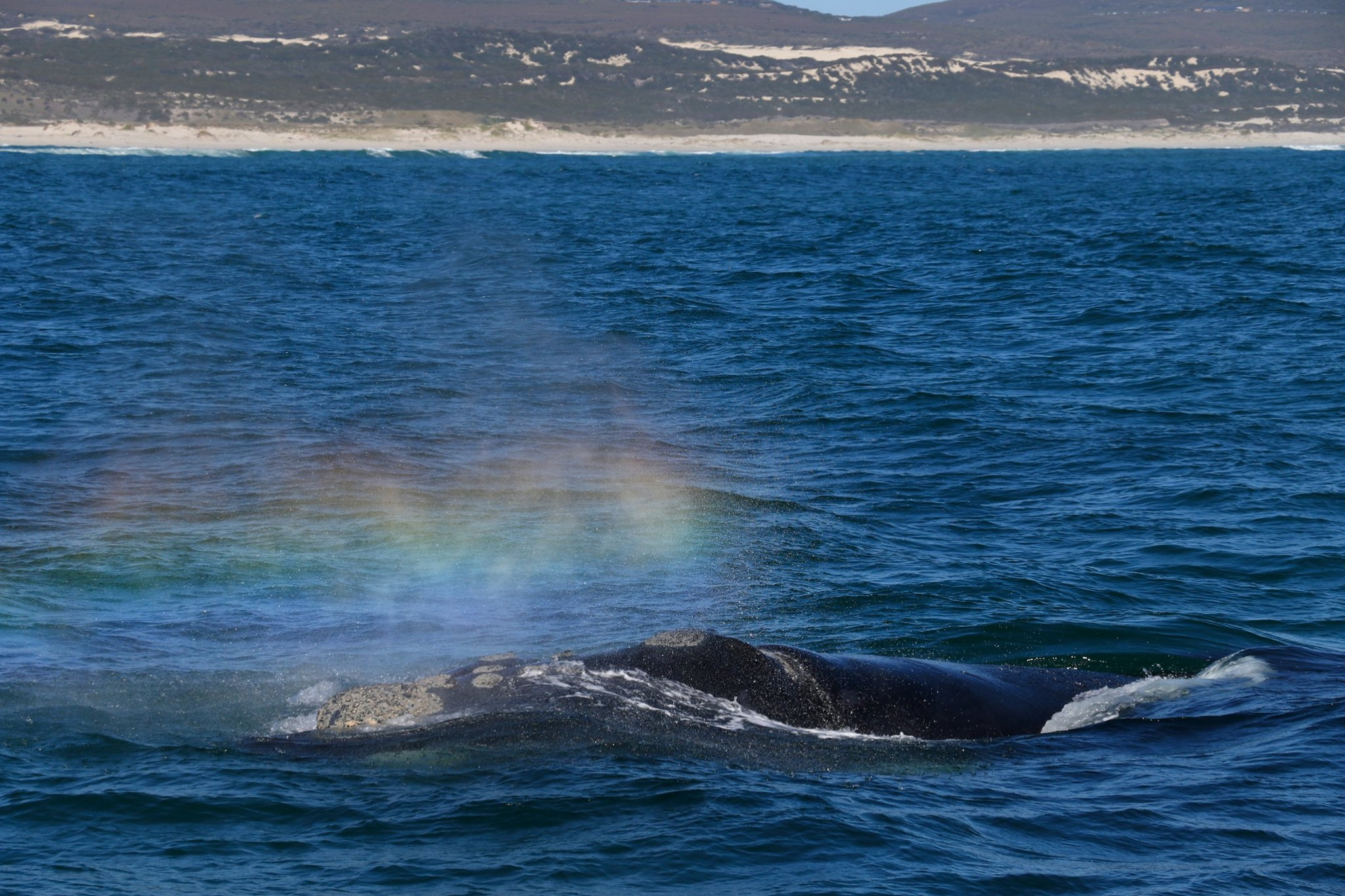 Southern Right Whale next to Ivanhoe Sea Safaris