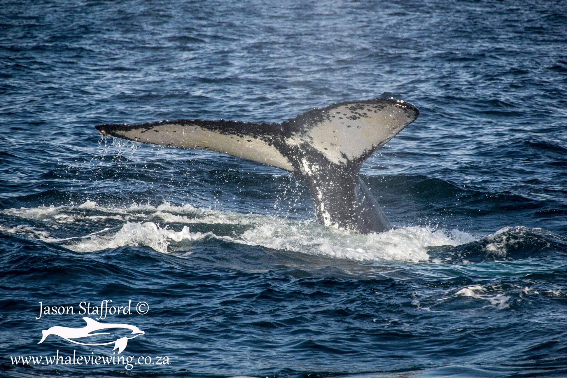 Der einzigartige Schwanz eines Buckelwals.