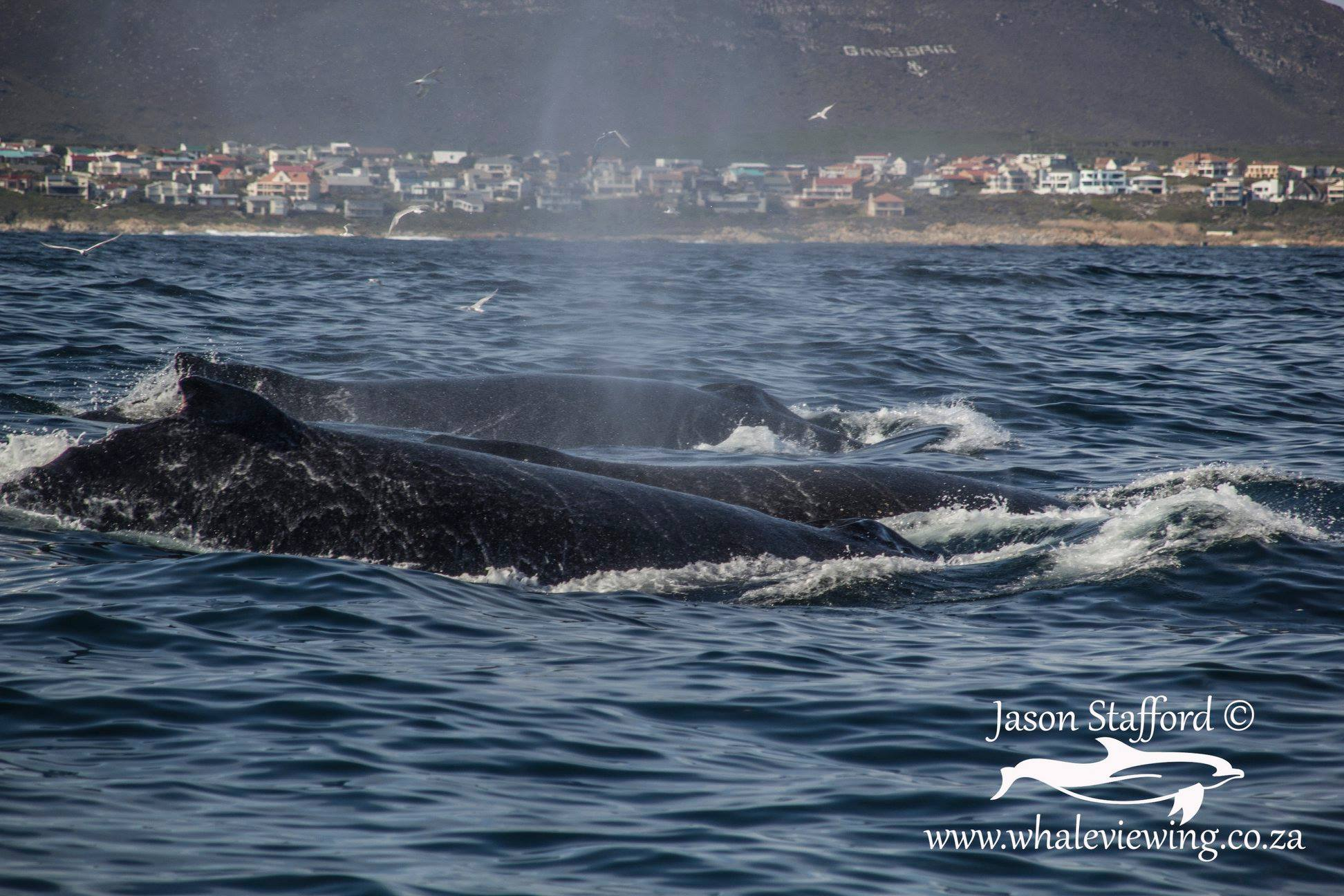 Whales migrating through Walker Bay