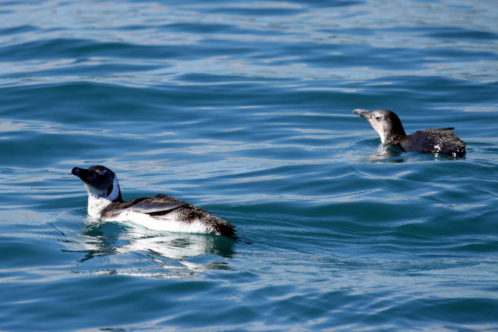 Whale Watching Tour Cape Town - Jackass Penguin