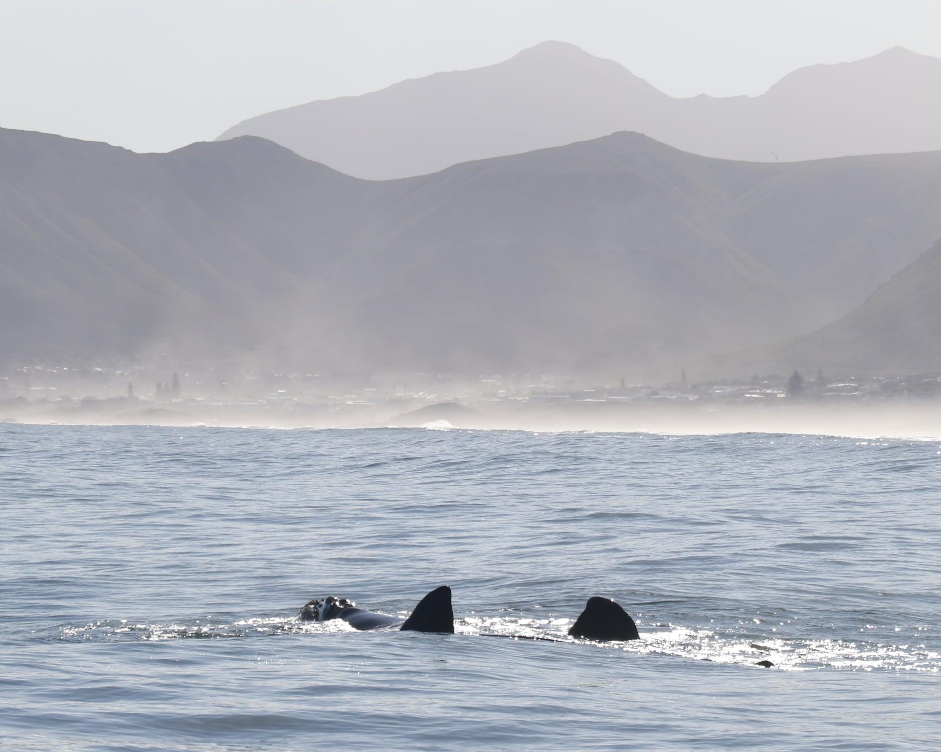 Hermanus Whale Sightings - Mating Group