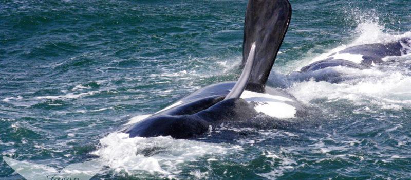 Best Whale Watching Hermanus Video